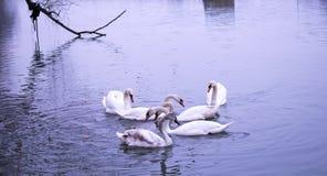 Nadada de los cisnes en el río azul Imagen de archivo