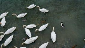Nadada de los cisnes en la charca