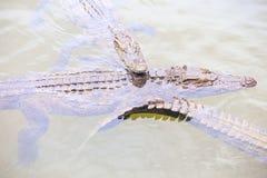 Nadada de los cocodrilos del primer tres debajo del agua transparente Fotografía de archivo