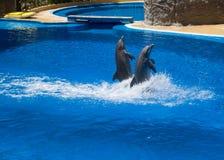 Nadada de los delfínes en la piscina Imagen de archivo libre de regalías