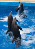 Nadada de los delfínes en la piscina Imagen de archivo
