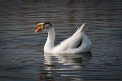 Nadada de los gansos en el lago Imagenes de archivo