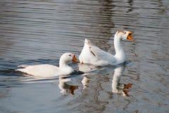 Nadada de los gansos en el lago Fotografía de archivo