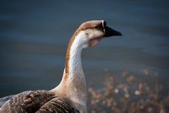 Nadada de los gansos en el lago Imagen de archivo
