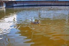 Nadada de los patos en el agua Drake nada en el lago Muchos patos nadan en la charca de la ciudad Pájaro con las plumas multicolo imágenes de archivo libres de regalías