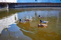 Nadada de los patos en el agua Drake nada en el lago Muchos patos nadan en la charca de la ciudad Pájaro con las plumas multicolo imagen de archivo