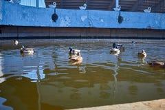Nadada de los patos en el agua Drake nada en el lago Swi de muchos patos fotografía de archivo