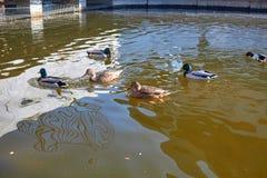 Nadada de los patos en el agua Drake nada en el lago Swi de muchos patos foto de archivo libre de regalías