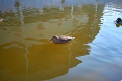 Nadada de los patos en el agua Drake nada en el lago Swi de muchos patos fotografía de archivo libre de regalías