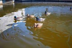 Nadada de los patos en el agua Drake nada en el lago Swi de muchos patos imagen de archivo