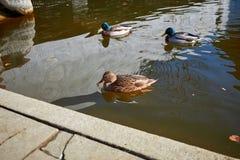 Nadada de los patos en el agua Drake nada en el lago Swi de muchos patos imágenes de archivo libres de regalías