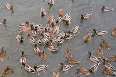 Nadada de los patos en el lago Foto de archivo