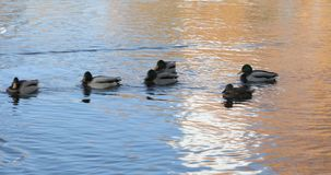 Nadada de los patos en el lago almacen de video