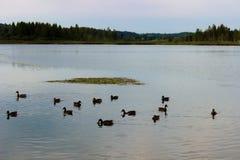 Nadada de los patos en la charca Imagen de archivo libre de regalías