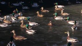 Nadada de los patos en la charca Pato salvaje metrajes