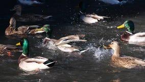 Nadada de los patos en la charca Pato salvaje almacen de metraje de vídeo