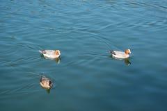 Nadada de los patos en Osaka Japón Foto de archivo