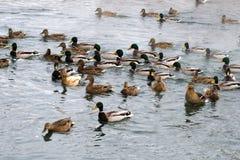 Nadada de los patos en una muchedumbre Foto de archivo