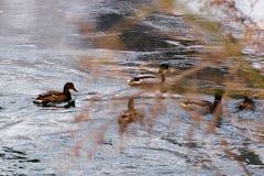 Nadada de los patos a lo largo del lago detrás de arbustos Fotografía de archivo