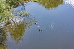 Nadada de los patos salvajes en el río Foto de archivo