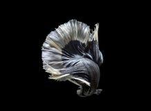 Nadada de los pescados de Betta en fondo negro Fotografía de archivo libre de regalías