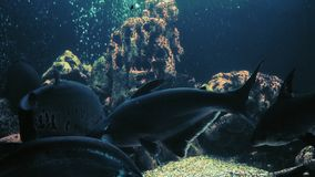 Nadada de los pescados del chitala de Notopterus en acuario con otros pescados exóticos almacen de video
