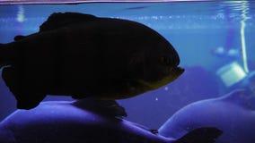 Nadada de los pescados del macropomum de Colossoma detrás del vidrio en un acuario retroiluminado oscuro metrajes