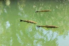 Nadada de los pescados en la charca fotos de archivo libres de regalías