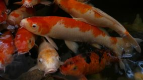 Nadada de los pescados de Koi en las charcas almacen de video