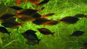 Nadada de los pescados de Melanotaenia en acuario detrás del vidrio en algas metrajes