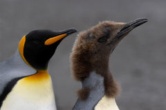 Nadada de los pingüinos Imagenes de archivo