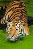 Nadada de los tigres fotos de archivo libres de regalías