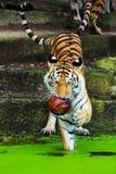 Nadada de los tigres de Bengala foto de archivo libre de regalías