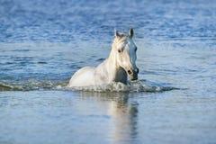 Nadada del caballo blanco Fotos de archivo libres de regalías