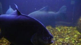 Nadada del macropomum de Colossoma detrás del vidrio en acuario metrajes