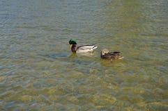 Nadada del pato y del pato macho en el parque en la fuente imagen de archivo libre de regalías