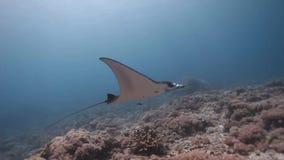 Nadada del rayo de manta del filón en el arrecife de coral almacen de video