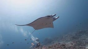 Nadada del rayo de manta del filón en el arrecife de coral almacen de metraje de vídeo