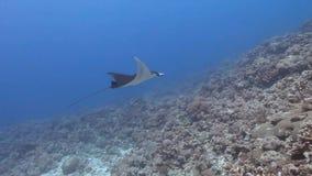 Nadada del rayo de manta del filón sobre los arrecifes de coral almacen de metraje de vídeo