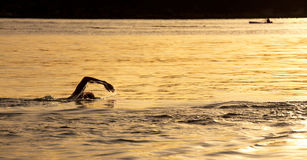 Nadada do oceano do nascer do sol no Balmoral, Sydney Foto de Stock Royalty Free