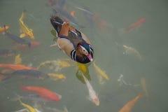 Nadada do pato de mandarino com peixes do koi Imagem de Stock