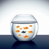 Nadada do peixe dourado Fotografia de Stock Royalty Free
