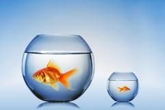 Nadada do peixe dourado foto de stock