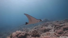 Nadada do raio de manta do recife no recife de corais video estoque