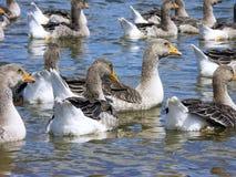 Nadada dos gansos em uma lagoa Fotografia de Stock Royalty Free