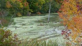 Nadada dos gansos no pântano Fotos de Stock Royalty Free