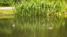 Nadada dos patos selvagens na lagoa video estoque