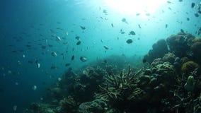 Nadada dos peixes acima de uma inclinação do recife em Raja Ampat video estoque