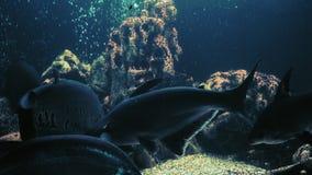 Nadada dos peixes do chitala de Notopterus no aquário com outros peixes exóticos video estoque