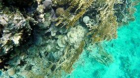 Nadada dos peixes entre o coral filme